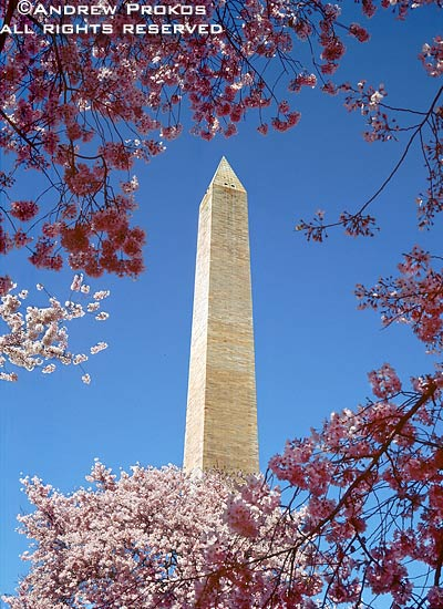 A view of the Washington Monument surrounded by spring cherry blossoms, Washington D.C.