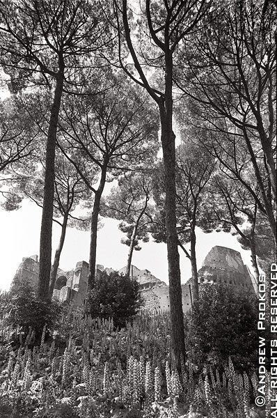 Ancient ruins under tall Roman pine trees on the Palatine Hill, Rome, Italy