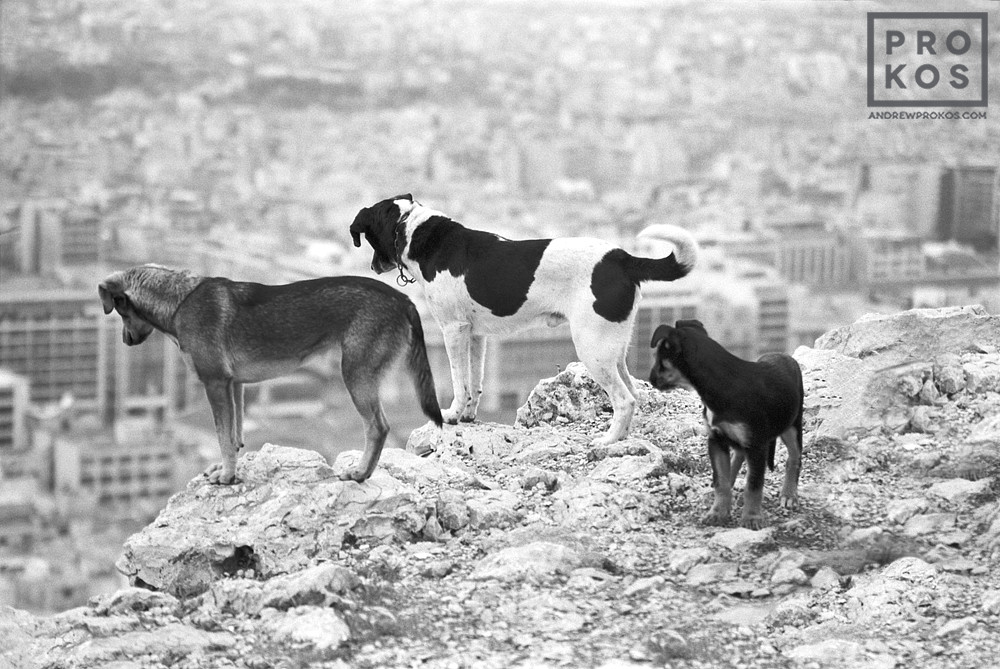 Stray dogs look over the city of Athens, Greece from Mount Lykabettus in black and white
