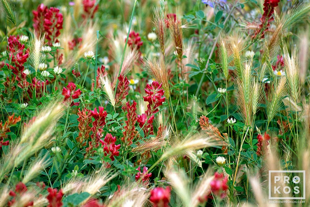 Wildflowers in a green field in Campania, Italy