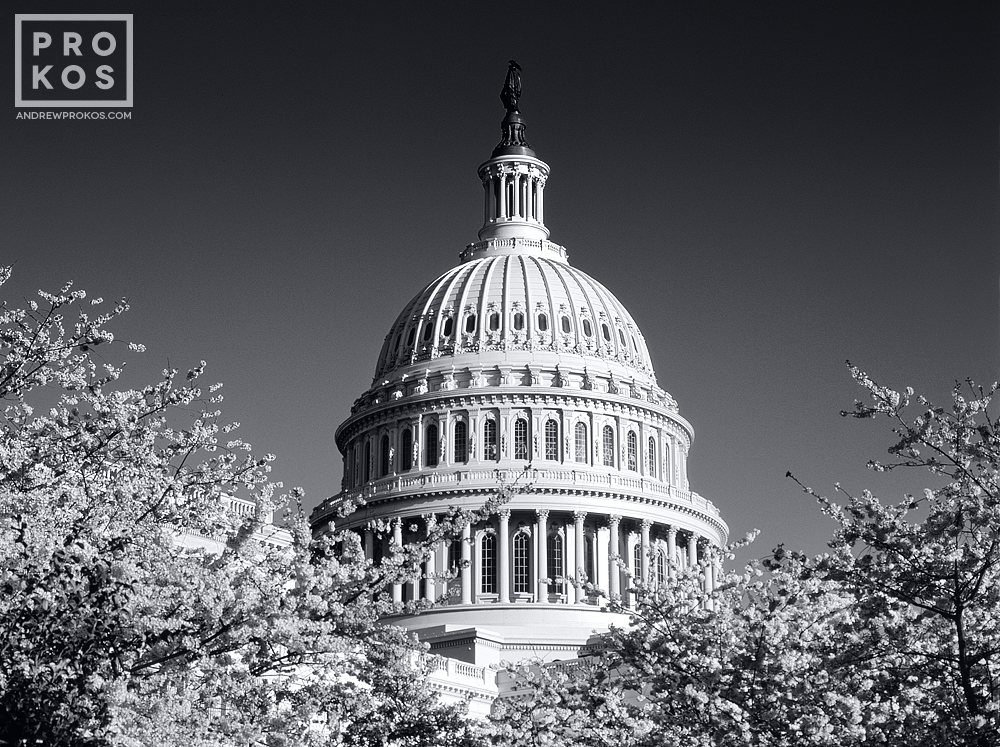 A black and white view of the dome of the U.S. Capitol building through Spring cherry blossoms, Washington D.C.