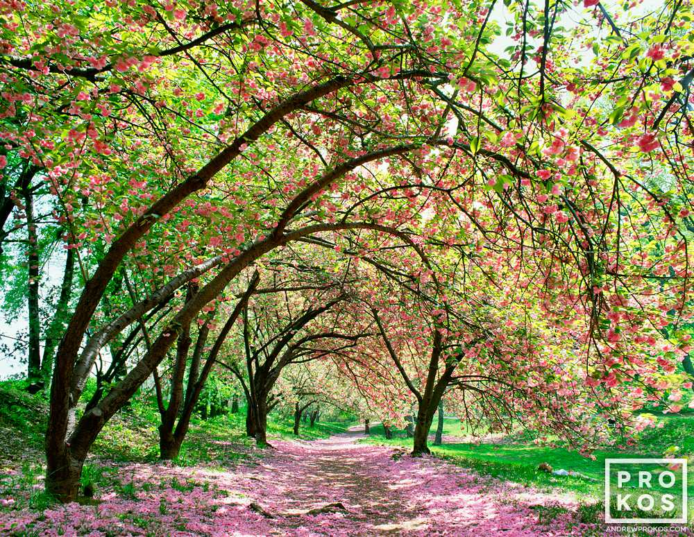 An aracde of Spring cherry blossoms in Central Park, New York City