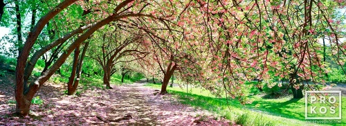 CPARK BLOSSOMS PANO FLT PX