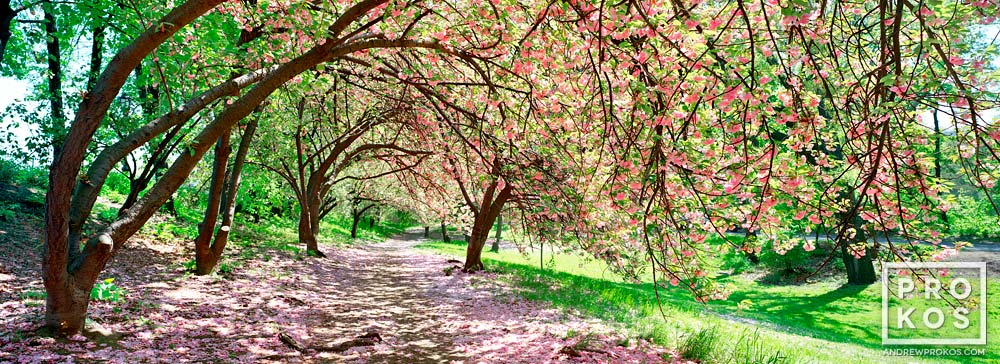 A panoramic view of Spring cherry blossoms in Central Park, New York City