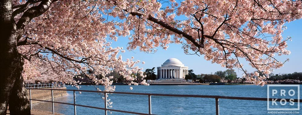 A panoramic view of the Jefferson Memorial across the Tidal Basin framed by Spring cherry tree blossoms, Washington DC