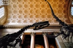 The interior of the American Museum of Natural History with it's famous colossal dinosaurs, New York City