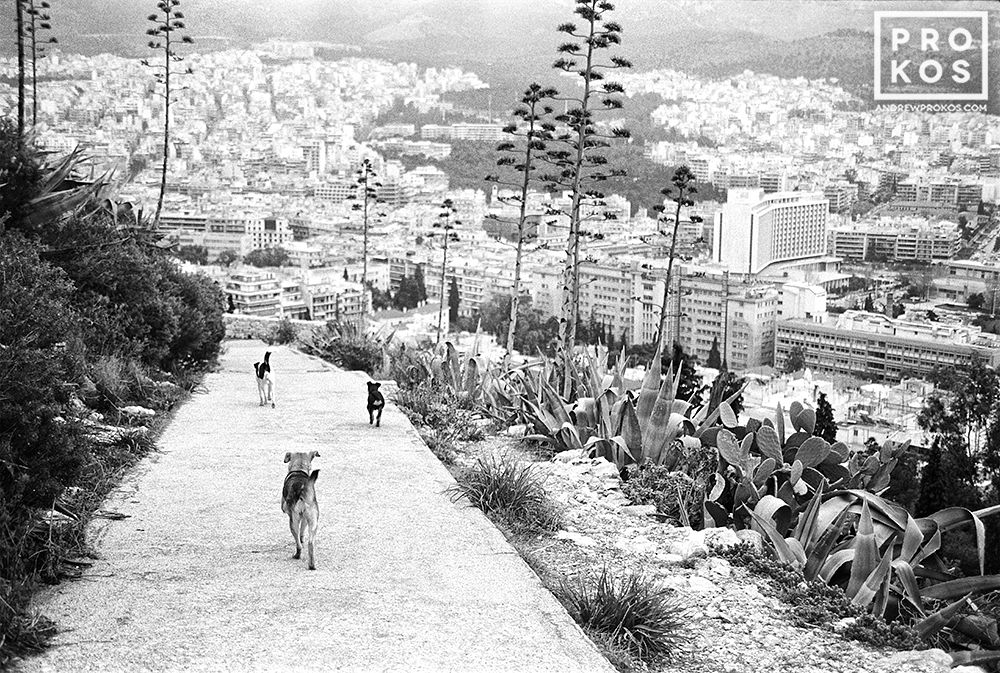 Stray dogs run down a path on Lykabettos Hill in the center of Athens, Greece