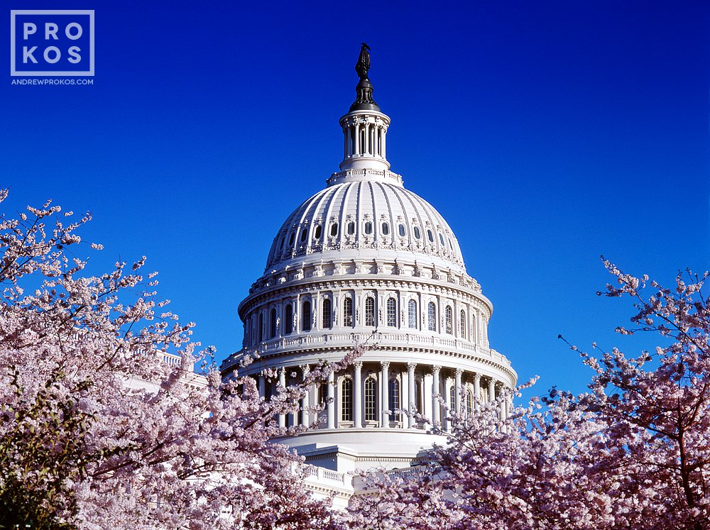 A fine art photo of the dome of the U.S. Capitol building through Spring cherry blossoms, Washington D.C.