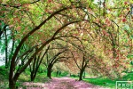A Spring landscape photo of the Japanese cherry blossoms in Central Park, New York City