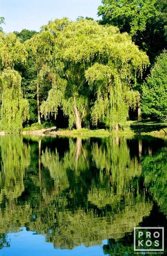 A landscape of willow trees reflected on the Loch in New York's Central Park