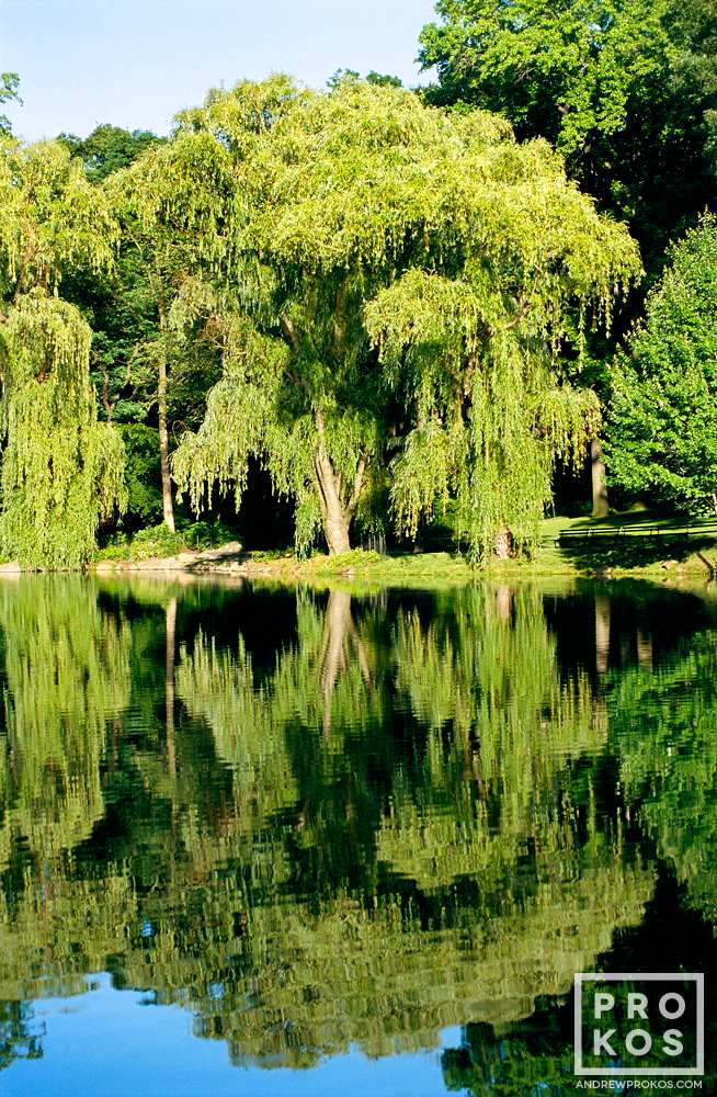 A fine art landscape photo of willow trees reflected on the Loch in New York's Central Park