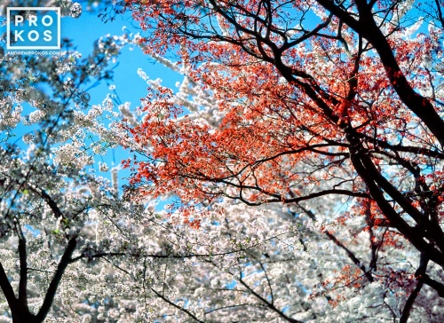 A high-definition landscape photo of spring Cherry tree blossoms bursting into color in Washington DC