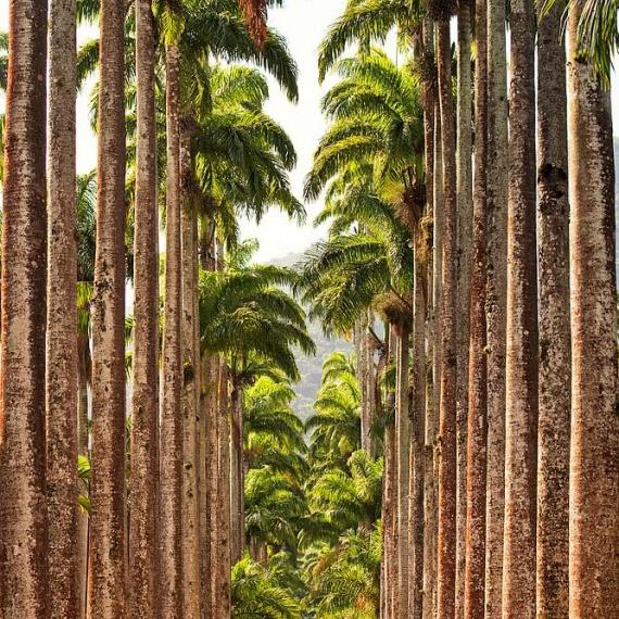 The massive imperial palm trees in Rio de Janeiro's Jardim Botanico. Os enormes palmeiras imperiais no Jardim Botânico do Rio de Janeiro.