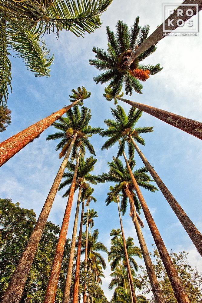 A fine art landscape photograph of the imperial palms in the Jardim Botanico of Rio de Janeiro.