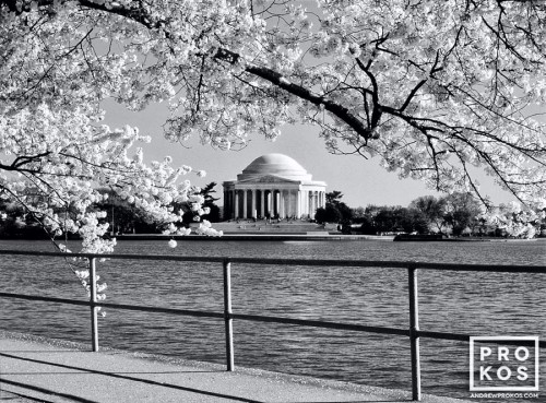 A black and white landscape photo of the Jefferson Memorial framed by Spring cherry tree blossoms, Washington DC