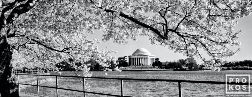 A black and white panoramic view of the Jefferson Memorial framed by Spring cherry blossoms, Washington DC